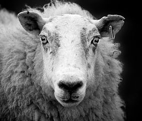 283px-Ewe_sheep_black_and_white