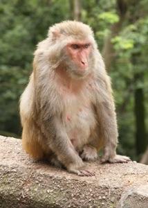 Macaca mulatta in Guiyang